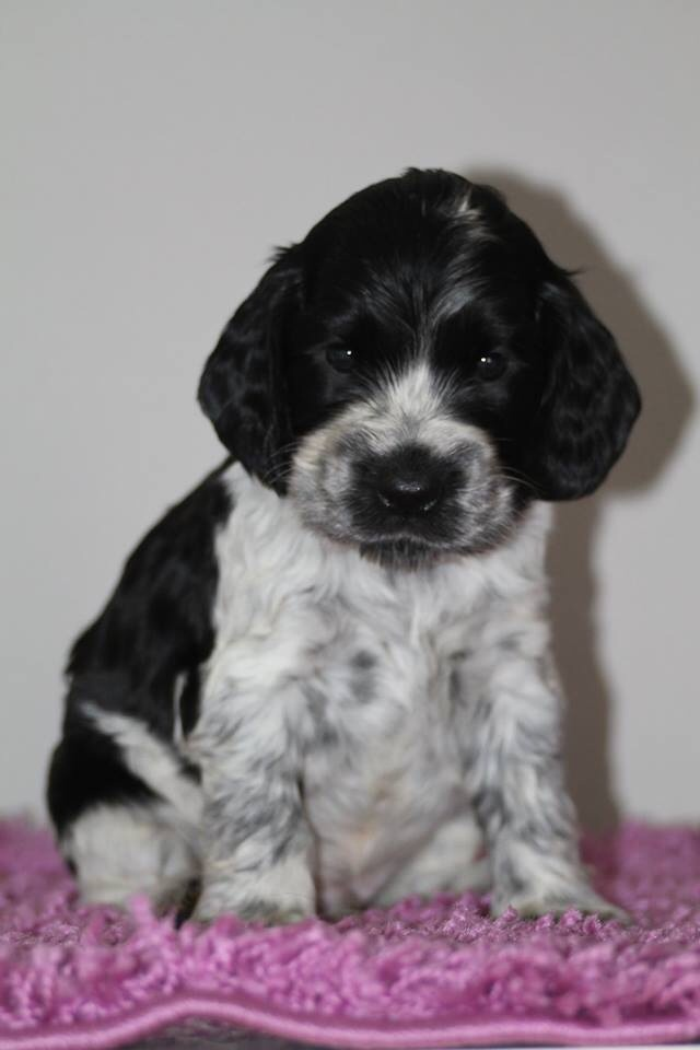 Cocker Spaniel Valp